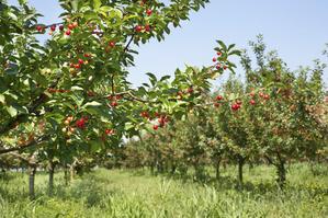 verger cerisier