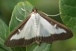 Pyrale du buis / Papillon