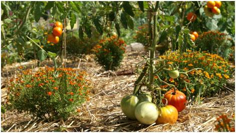 Pieds de tomates