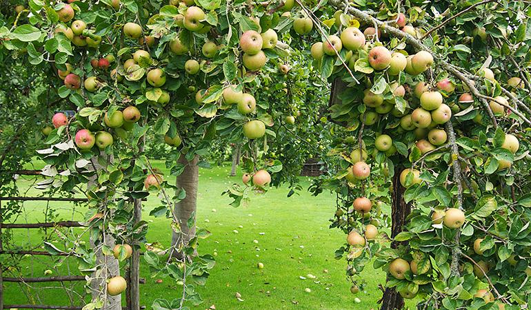 pommes-verger